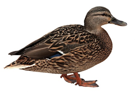 Female Mallard , standing in front of white background Imagens