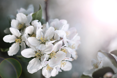 crab apple tree: Dazzling white flower blossoms with pink unopened bud adorn a crab apple tree branch in spring. Stock Photo