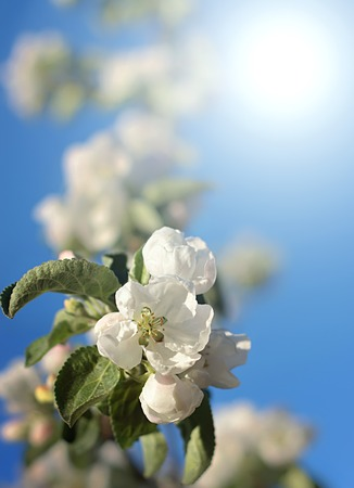 dazzling: Dazzling white flower blossoms with pink unopened bud adorn a crab apple tree branch in spring. Stock Photo