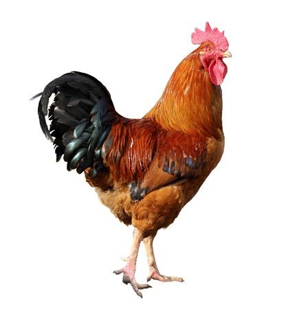 白い背景に分離された鶏チキン