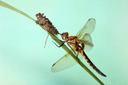sapless: giovane larve di libellula crawl da. sfondo blu.