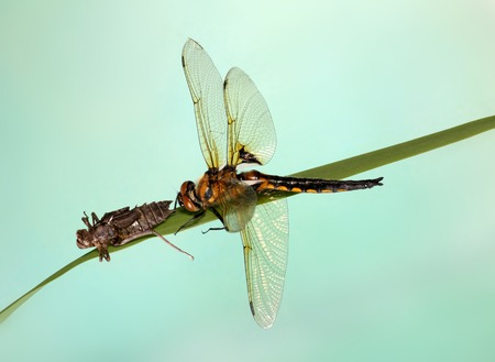 sapless: young dragonfly larvae crawl from.  blue background. Stock Photo