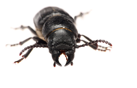 geotrupes: black beetle isolated on a white background. Macro.