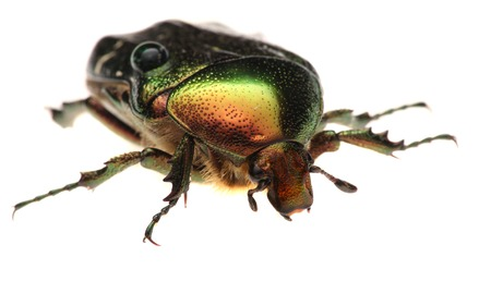aurata: Green beetle. Rose chafer , cetonia aurata, isolated on a white background