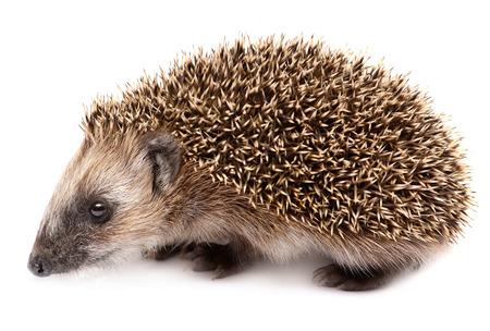 hedgehog isolated on white background. Small mammal with spiny hairs on its back and sides