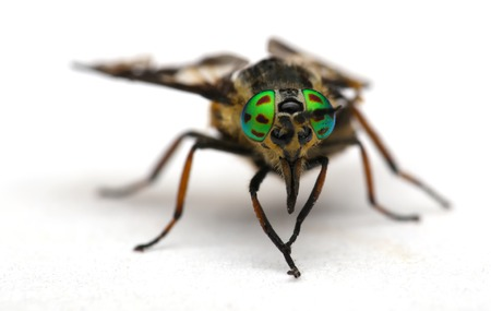 compound eyes: Eyes of an insect. Portrait of a Gadfly , Fly.Hybomitra horse fly head closeup Stock Photo