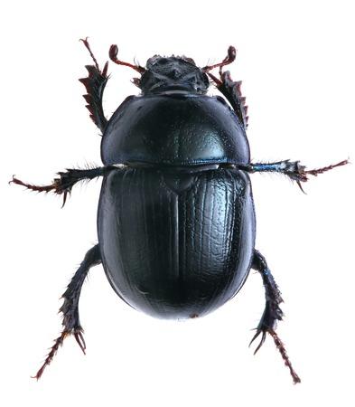 黒い甲虫は、白い背景で隔離。マクロ。