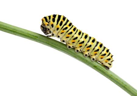 白で隔離緑害虫毛虫の側面図です。蝶の幼虫のマクロ