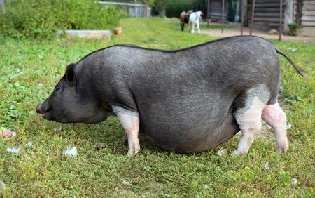 gestation: Black and white pregnant pig on free range farm. Pregnant Pot-bellied pig, animal living on the farm
