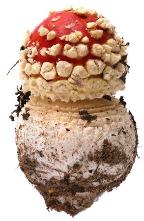 amanita: Amanita poisonous mushroom, red fly agaric isolated on white background