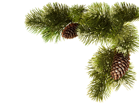 fir branch: Fir branch with fir cones isolated on white background Stock Photo