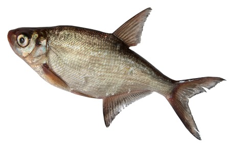 rutilus: River Fish Isolated on a white background. roach, Bream