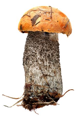 mushrooming: Orange-cap boletus. Forest mushrooms isolated on a white background. Stock Photo