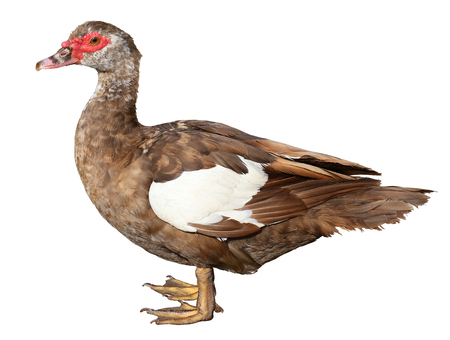 Muscovy Duck Cairina moschata isolated with clipping path Stock Photo