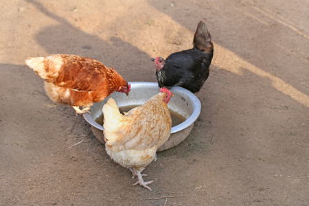 kampung: Three chickens : red, black and brown. hen on farm. Homemade poultry. Rustic look Stock Photo