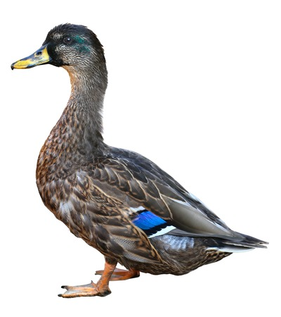 Female Mallard with clipping path, standing in front of white background