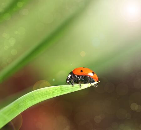 Ladybird closeup on a leaf. Ladybug running along on blade of green grass. Beautiful nature Stock Photo