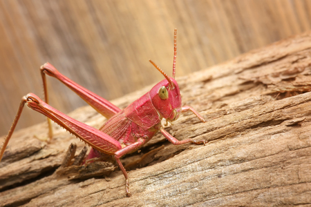 Red grasshopper. insect comes out of cracks in wood