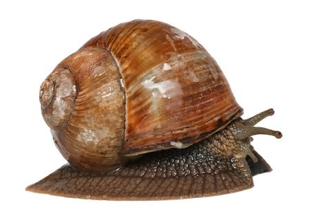 Escargot de jardin isolé sur blanc. Hélix pomatia noms communs escargot de Bourgogne escargot comestible escargot romain ou escargot isolé sur fond blanc Banque d'images - 81602321