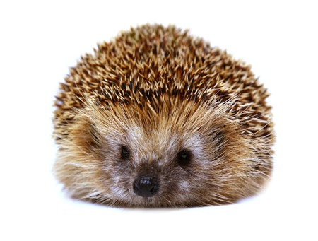 Hedgehog isolated on white background. The European hedgehog.