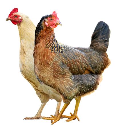 Twee kippen geïsoleerd op een witte achtergrond. Stockfoto - 94065170