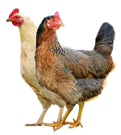 Two Chickens Isolated on a White Background. Standard-Bild