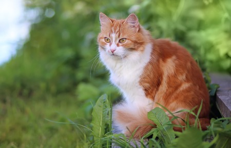 Cat in Green Grass in Summer. Beautiful Red Cat with Yellow Eyes Imagens