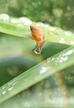 Little snail on green grass in dew drops, rainbow