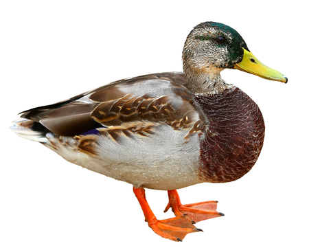 Mallard Duck . Colourful wild duck drake isolated on white background Imagens