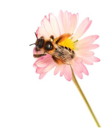 honey bee on flower isolated on white background