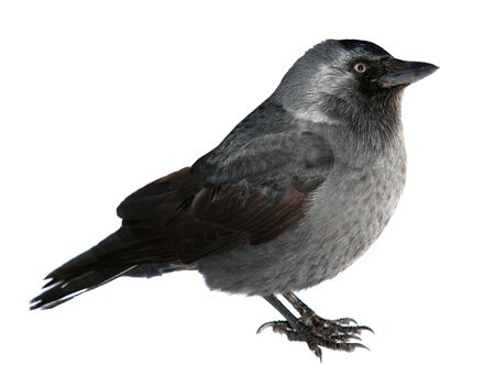 Jackdaw ,Latin: Coloeus monedula, syn. Corvus monedula -bird, one of the smallest representatives of the Vranov family. black bird isolated on a white background.