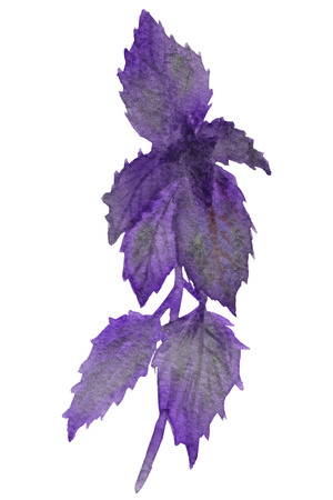 Watercolor painting of purple Basil. Fragrant grass isolated on white background, for beautiful design, with space for text.
