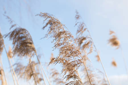 Dry grass, dry golden reeds at the lake with blue sky in spring. Nature with blurred sky or background Foto de archivo