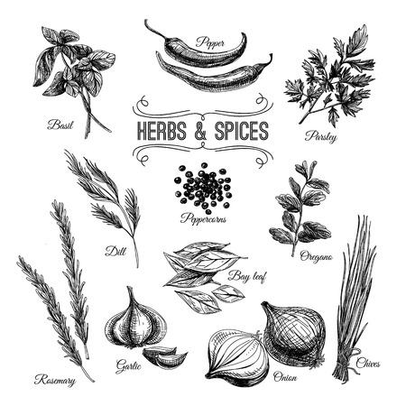 albahaca: Vector Conjunto drenado mano con hierbas culinarias y especias. Ilustración Boceto.