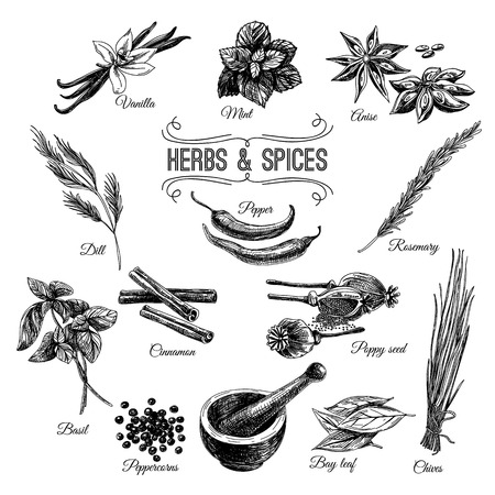EPICES: Vector Hand Drawn réglé avec des herbes épices. Vintage illustration. Rétro collection. Illustration