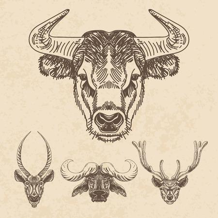 toro: Vector conjunto de dibujado a mano animal. Ilustración de la vendimia con los Bulls y cabezas de venado.