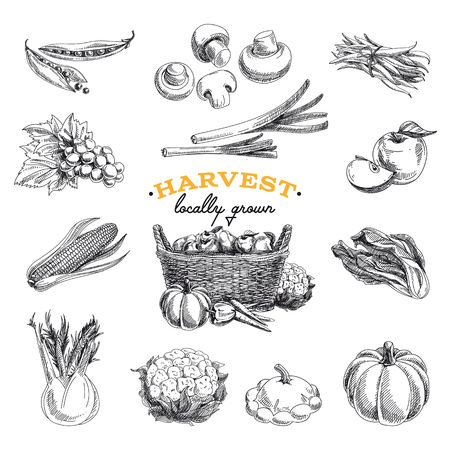 hand basket: Vector hand drawn sketch Harvest set. Eco foods.Vector illustration.