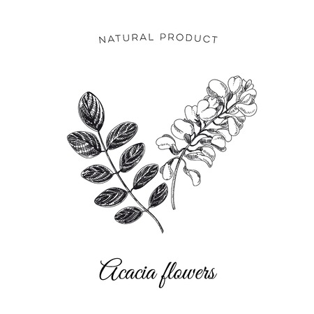 Vector hand drawn acacia flower Illustration. Sketch vintage style. Design template. Retro background.  イラスト・ベクター素材