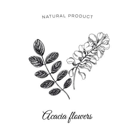 Vector hand drawn acacia flower Illustration. Sketch vintage style. Design template. Retro background. Illustration