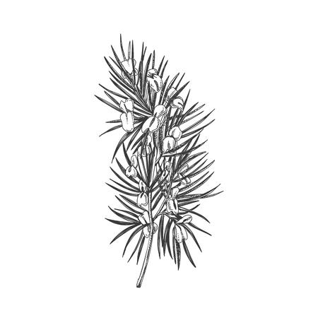 Prachtige vector hand getrokken Rooibos thee kruid illustratie. Gedetailleerde afbeeldingen in retrostijl. Vintage schetselement voor etiketten, verpakkingen en kaarten ontwerpen.