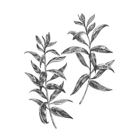Ilustração tirada da erva do chá do verbena do limão do vetor mão bonita. Imagens detalhadas de estilo retro. Elemento de desenho vintage para rótulos, embalagens e design de cartões.