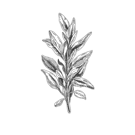 Beautiful vector hand drawn sage tea herb Illustration. Detailed retro style images. Vintage sketch element for labels, packaging and cards design.