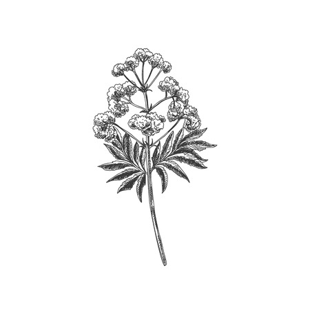 Beautiful vector hand drawn tea valerian herb Illustration. Detailed retro style images. Vintage sketch element for labels, packaging and cards design.