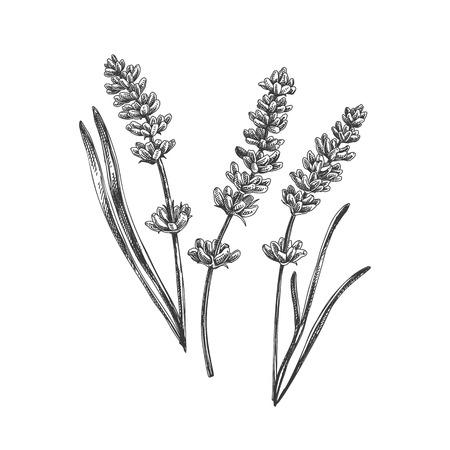 Hermoso vector dibujado a mano lavanda té hierba ilustración. Imágenes detalladas de estilo retro. Elemento de boceto vintage para diseño de etiquetas, envases y tarjetas. Ilustración de vector