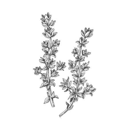 Beautiful vector hand drawn thyme tea herb illustration.