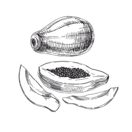 Beautiful vector exotic fruit hand drawn  Illustrations. Detailed retro style papaya image.