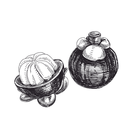 Beautiful vector exotic fruit hand drawn  Illustrations. Detailed retro style mangosteen image. Vettoriali