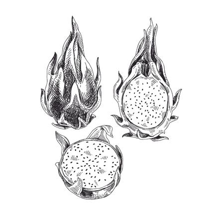 Hand drawn dragon fruit vector illustration on white background.