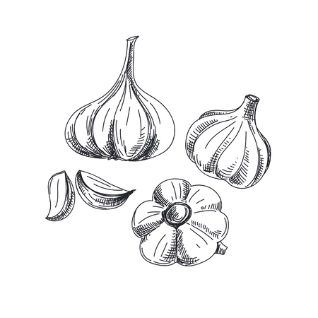Beautiful vector hand drawn vegetables Illustration. Detailed retro style garlic image. Vintage sketch element for labels, packaging and cards design.