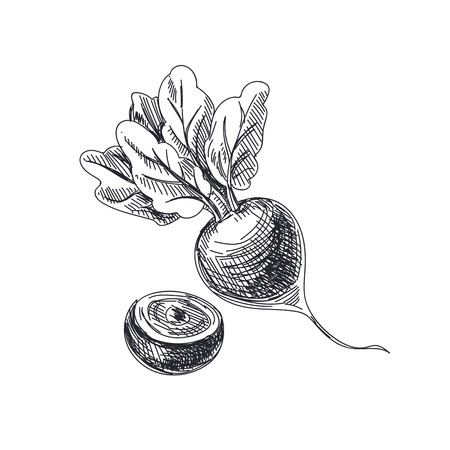 Beautiful vector hand drawn vegetables Illustration. Detailed retro style beetroot image. Vintage sketch element for labels, packaging and cards design. Ilustração